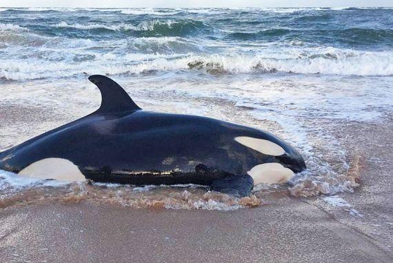 Orca encalha em Guarajuba
